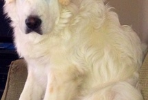 Clarence The Great Pyrenees  / Pyrenees mountain puppy