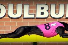 Greyhounds / Racing & non-racing