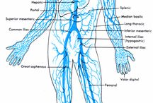Anatomy veins