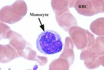 Monocitos