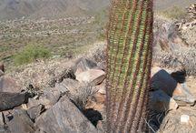 cactus  habitat / cactus
