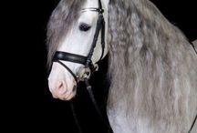 Fabuloso andalusian horse