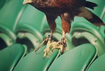 Rufus the Hawk keeps pigeons away on the centre court Wimbledon … Visit and see him in action  http://ift.tt/20nA7aE