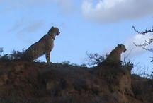 African Safari / Africa and South Africa safari trips