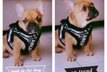 French Bulldog / My Beautiful French Bulldog, Jacks from the Netherlands.