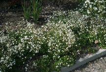 Växter under Silverpäronträdet