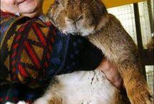 coelhos enormes