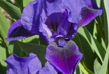 Remontants  / These reblooming bearded iris are offered for sale at Presby August 23rd and 24th, 10am-3pm.
