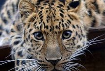 Guest Animal: Amur Leopard / Our guest animal is the Amur Leopard. She is a beautiful, spotted leopard who is very rare. There are only 80 Amur Leopards left in the wild! We get the honor of caring for one until April. Make sure you come pay her a visit!