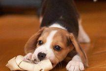 My Beagles