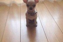 Chihuahuas / Chihuahuas