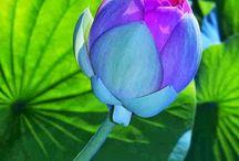 Lotus bleu