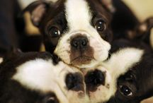 Dogs / Boston