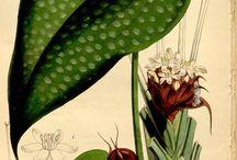 18th century flora botanica illustrasjon