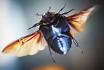 Rozenkevers  pachnoda marginata peregrina