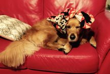 Mostly Marley + more / # Golden retriever # pets# love animals