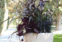Kordyliny i ciemne rośliny