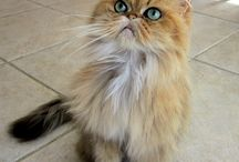 My Persian Cats / The Persian Cats of Cats of Persia