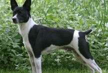 Rat terriers / by Jenny Reliford