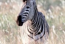 [ANIMALS] ZEBRA
