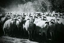 Le pecore, il pastore e i devoti....