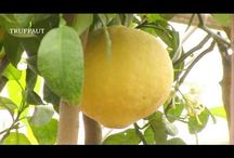 Planterscitronnier