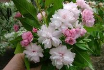 Trees Flowering