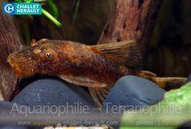 Catfish lda 16
