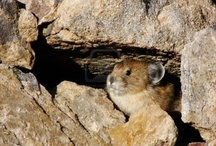 Pika's are so cuuuuuttttteeeeee!!!!!
