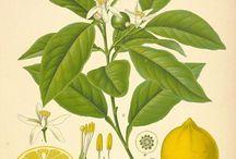 Lemony Lemons / by Lynda YoungBird