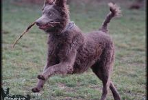 Mudi Dog