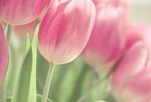 tulipánok (tulip)