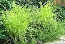 Alternatives to Carex elata 'Aurea' / Other grasses with light green foliage that are good for moist soils