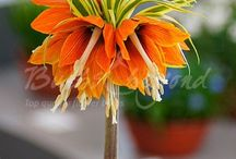 Spring Flowering Bulbs - Fritillaria / Fritillaria Imperialis is also known as the Crown Imperial, and together with allium, amaryllis and hyacinth gives a luxurious feel to your spring planting. Because of their length and special flower shape they are guaranteed eye-catchers in your garden.