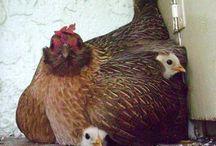 Tavuklar
