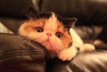 Exotic Short Hair Cat / Exotic Short Hair Cat