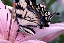 Butterflies of pinterest
