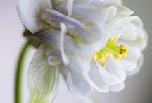 Beauty Flowers Vania Louis
