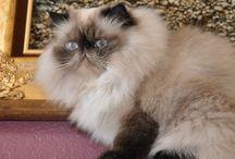 Rasy kotów / Tablica poświęcona kocim rasom - ich wyglądowi, zachowaniu, charakterowi, pochodzeniu itd.