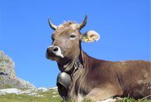 Kühe - Cows - Vaches