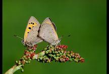 Vlinders & Rupsen / Op dit bord ontdek je vlinders, hun rupsen en wat ze eten.