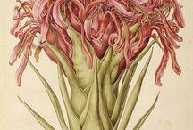 Botanical Illustration / by Salah Nakbumrung