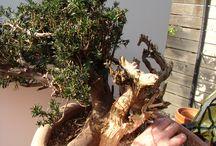 Bonsai tejo 2  / primer trabajo de modelado de un bonsai partiendo de um tejo Yamadori