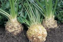 Growing Celeriac / Tips and advice on growing celeriac
