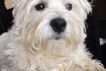 Westie Love / Meet Charlie...