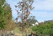 Liquidambar styraciflua (Sweet Gum) / The Liquidambar styraciflua (Sweet Gum) is a fast-growing deciduous tree with an attractive and thick foliage. This large tree also produces a fragrant and sweet-smelling gum. We currently stock 40L, 100L, 200L, 400L and 1000L. (Last updated 28 March 2017)