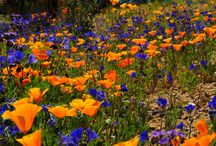 Arizona Desert Flowers / We have some of the most beautiful flowers in the world in the spring in our Arizona deserts