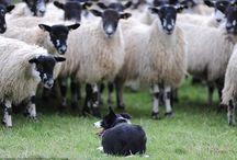 Border Collie, My loves' / Anything to do with Border Collie dogs