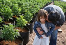 Charlottes Web Oil / non-psychoactive form of medical cannabis that treats children suffering from intractable epilepsy is named Charlottes Web Oil. It was named after an American Girl, Charlotte Figi.