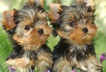 My Yorkie obsession